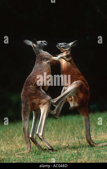 Red Kangaroo Macropus rufus Adult males fight for dominance Australia - Stock Image