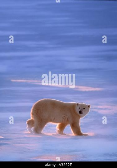 Polar bear walking on frozen lake Cape Churchill Manitoba Canada - Stock Image