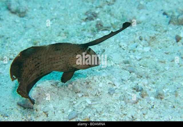 razor fish stock photos  u0026 razor fish stock images