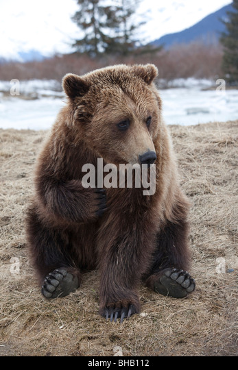 CAPTIVE Brown bear at the Alaska Wildlife Conservation Center, Southcentral Alaska, - Stock Image