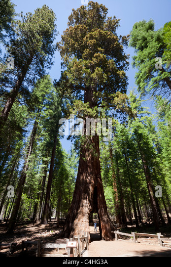 sequoia national park adult sex dating The tree stood in calaveras big trees state national park the tunnel had graffiti dating to the 1800s do you have a story for the sun online news team.