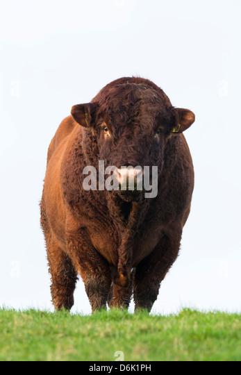 Bull in farmer's field, Islay, Scotland, United Kingdom, Europe - Stock Image