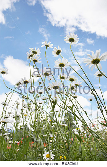 low angle view of daisies - Stock Image