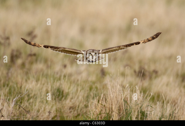 SHORT-EARED OWL Asio flammeus An adult in flight hunting over wasteland North Wales, UK - Stock-Bilder