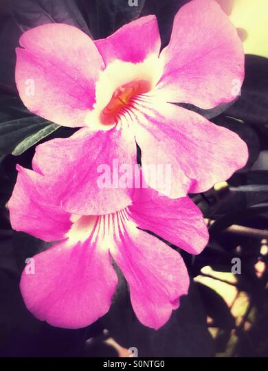 Pink tropical flowers - Stock Image