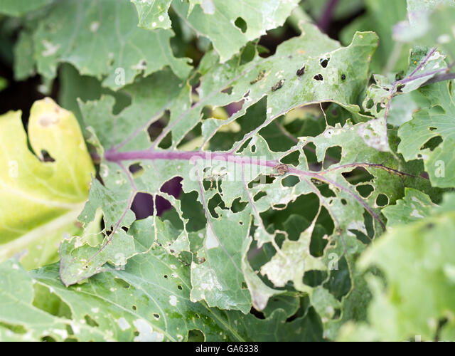 Kohlrabi (German turnip or turnip cabbage) leafs with slug and cabbage fly damage. - Stock Image