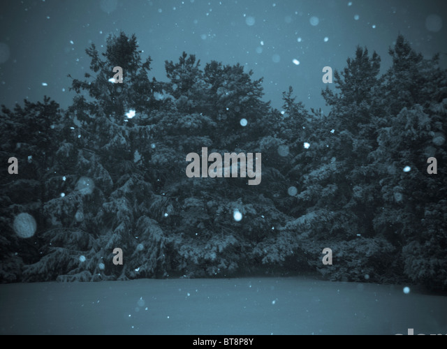 snow falling on evergreen trees. - Stock Image