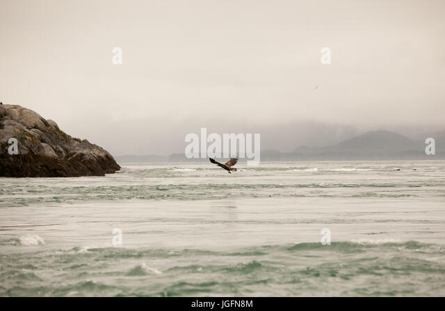 A bird soars just above the water's edge and hunts for food. - Stock Image