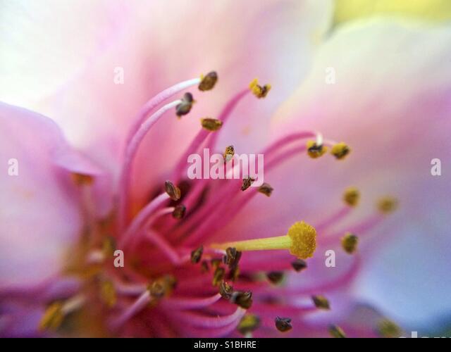 Peach flowers. - Stock Image
