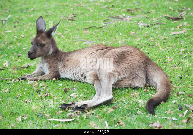 native Australian kangaroo - Stock Image
