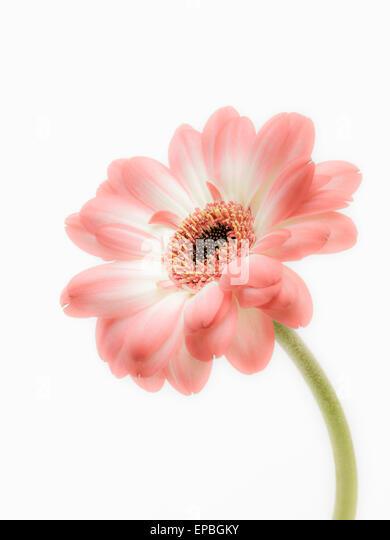 Single Daisy - Stock Image