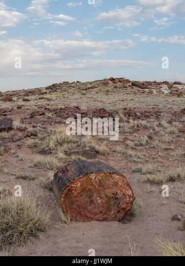 Large Piece of Petrified Wood in Arizona park - Stock Image