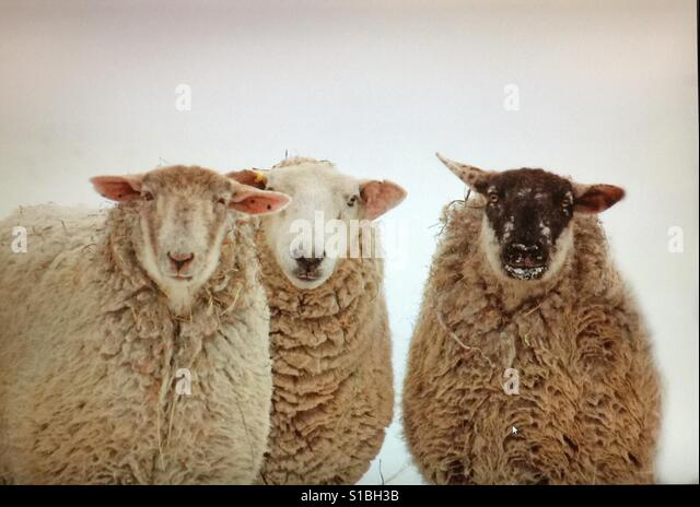 Three curious and friendly sheep - Stock Image