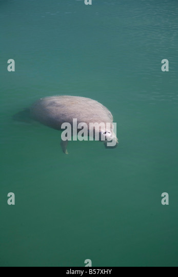 Manatee Swallow Caye Wildlife Sanctuary Belize Central America - Stock Image