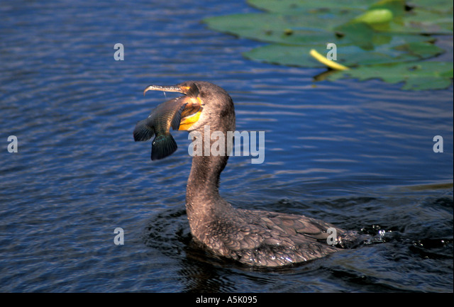 Florida Everglades National Park cormorant eating fish - Stock Image