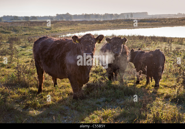 The Netherlands, Ooij, Ooij-polder. Galloway cows. - Stock Image