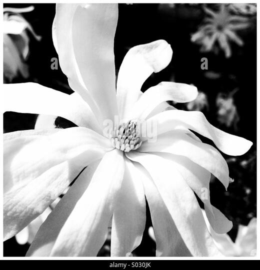 Blooming flower in black and white. - Stock Image