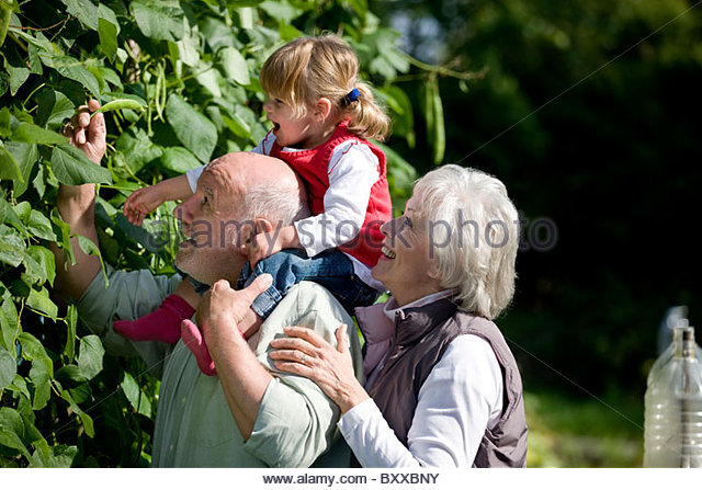 Grandparents and their granddaughter picking runner beans - Stock Image
