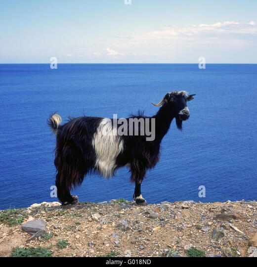 greek gaat at the beach of Crete Island, Greece, - Stock Image