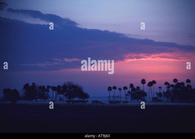 Florida fl St Johns river plain sunrise palm trees on pink horizon cattle roaming the river plain - Stock Image