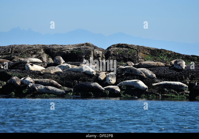 Harbor seals basking in the warm sunlight on a rocky island - Stock Image