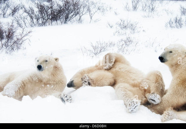Three young Polar Bears, Ursus maritimus, hanging around together, Wapusk National Park, near Hudson Churchill, - Stock Image