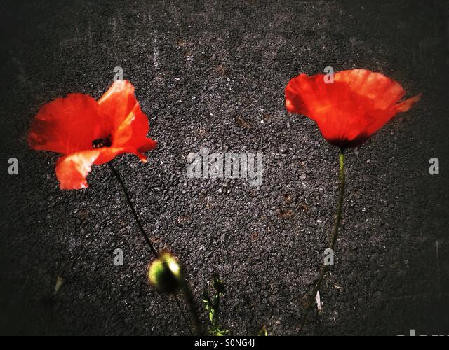 Red poppy flowers - Stock Image