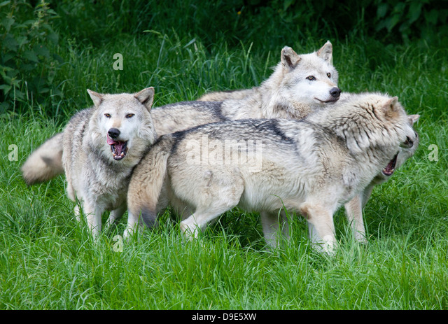 http://n7.alamy.com/zooms/08dd2919185d4c4f8614889fd87f1ae5/a-pack-of-european-grey-wolves-playing-in-grass-d9e5xw.jpg Gray