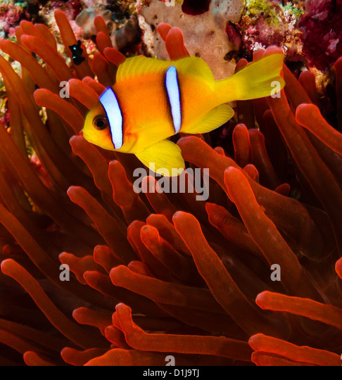 Red sea Clownfish (Anemonefish) next to a vivid red anemone on a coral reef - Stock Image