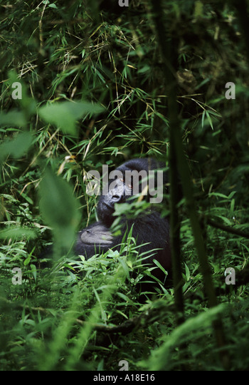 Mountain gorilla Parc des Virungas Democratic Republic of Congo - Stock-Bilder