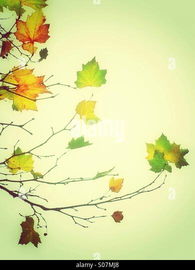 Autumn green yellow leaves - Stock Image