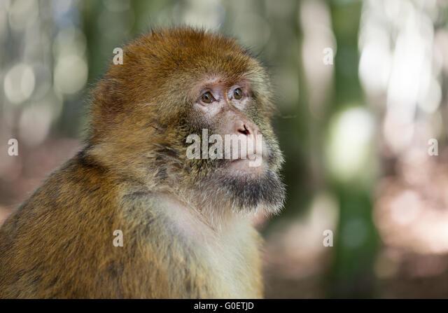 Barbary ape - Stock Image
