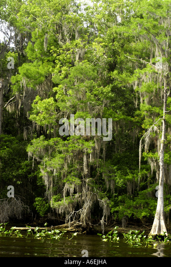 St Johns River Florida cypress trees shoreline - Stock Image