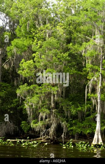 St Johns River Florida cypress trees shoreline - Stock Image