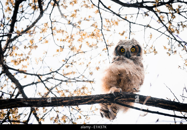 Great Horned Owlet (Bubo virginianus) peering down yellow eyes South Okanagan Valley Penticton British Columbia - Stock Image