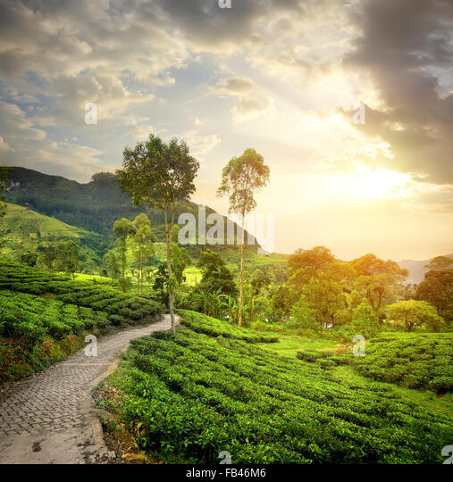 Green tea plantations in Nuwara Eliya and clouds - Stock Image