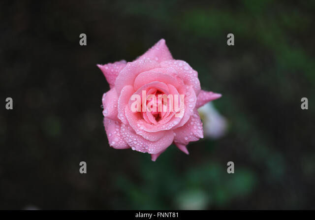 dewy rose black singles Singles wimbernkleber wimpernzubehör  highlighter - the dewy routine - the dewy drops c01 - rose  black catrice kosmetik.