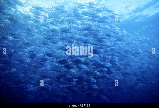 Big school of fish in open water Trevally Pseudocaranx dentex Family Carangidae Jacks Poor Knights Islands New Zealand - Stock Image