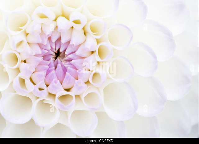 Dahlia 'Josie Gott', Close up of purple and white petals opening on a flower. - Stock Image