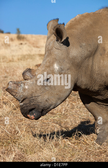 Dehorned white rhino (Ceratotherium simum) on rhino farm, Klerksdorp, North West Province, South Africa, Africa - Stock Image