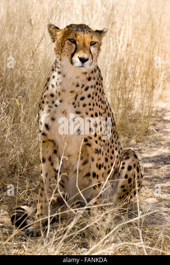Sitting cheetah with sad eyes direct to camera, spotted, camouflaged - Stock Image