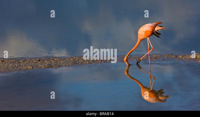 Greater flamingo {Phoenicopterus ruber} feeding in coastal lagoon, Isabela Island, Galapagos, January - Stock Image