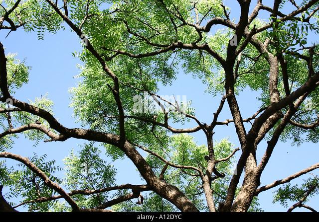 neem tree biography in hindi About maharajji neem karoli baba neeb karori  i fell to the ground like a tree that had been hit by lightning  hanuman chalisa hindi.