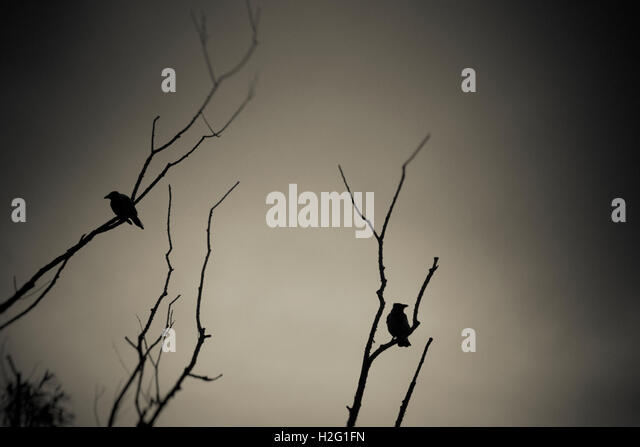 Two birds and dark silhouette of tree. Moody and ominous nature scene. - Stock-Bilder