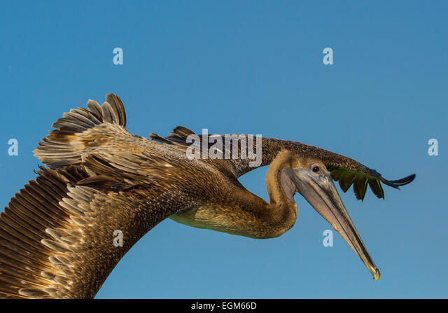 View of immature brown pelican passing in flight with wings spread - Stock Image