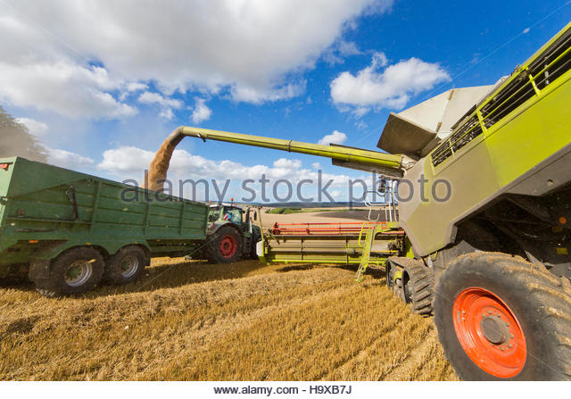 Combine Harvester Filling Trailer With Wheat At Harvest - Stock Image