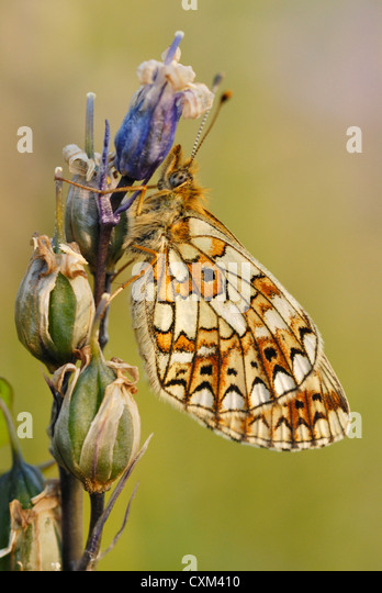 Small Pearl-bordered Fritillary (Boloria selene) on a bluebell seed head - Stock-Bilder