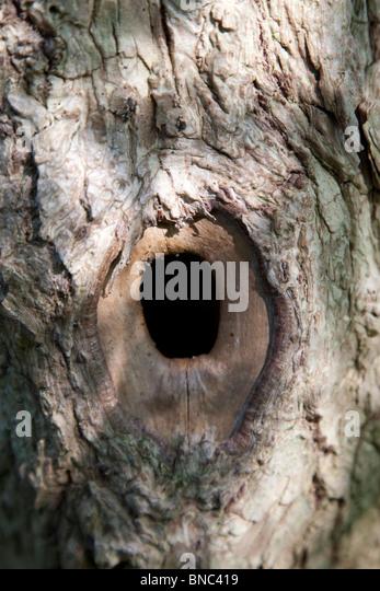 Bluetit nesthole - Stock Image