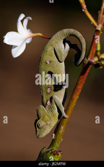 Chameleon sitting on a branch. Madagascar. An excellent illustration. Close-up. - Stock Image