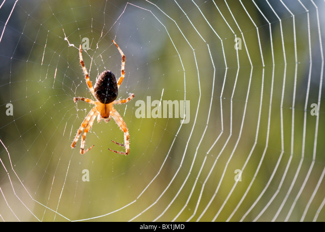 Garden spider in a web - Araneus diadematus - Stock-Bilder